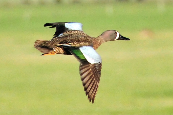 Blue-winged teal - wildlife in south dakota
