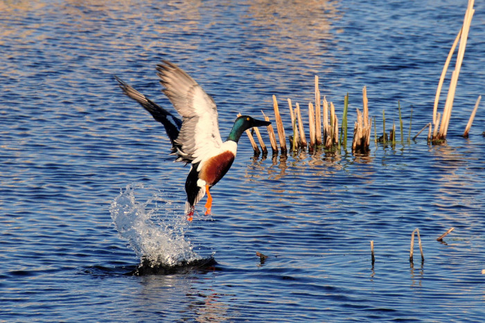 Northern Shoveler - wildlife in south dakota