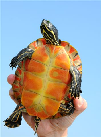 17. A northern red-bellied cooter turtle.
