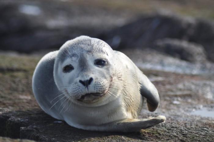 1. A harbor seal at Nantucket National Wildlife Refuge.