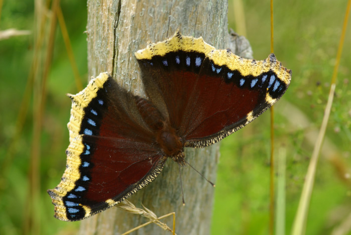 12.  Morning Cloak Butterfly on Fence Post.