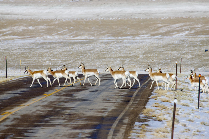 2. If they call an antelope a pronghorn.