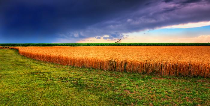 "9. ""Kansas Summer Wheat and Storm Panorama"""