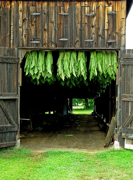3. This tobacco barn in Hadley  is still being used to process the bounty of the local land.