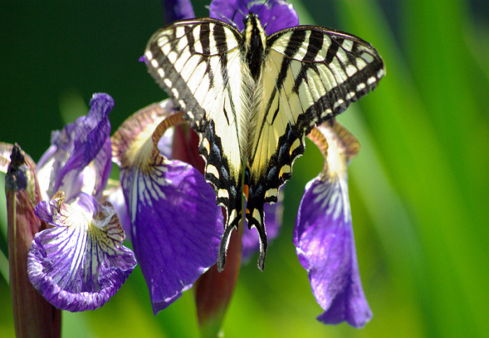 6.  Swallow Tail Butterfly