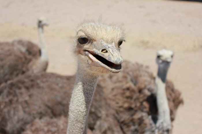 11. Ostrich races, festivals and farms are kind of weird, too.