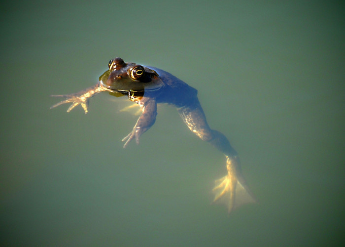 14. Lazy floating frog in Curzon Mill, Newburyport.
