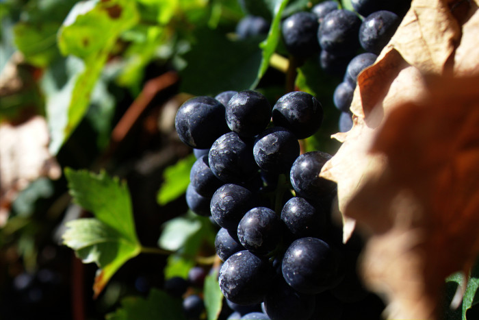 10. Early Mormon pioneers produced wine… a lot of wine.