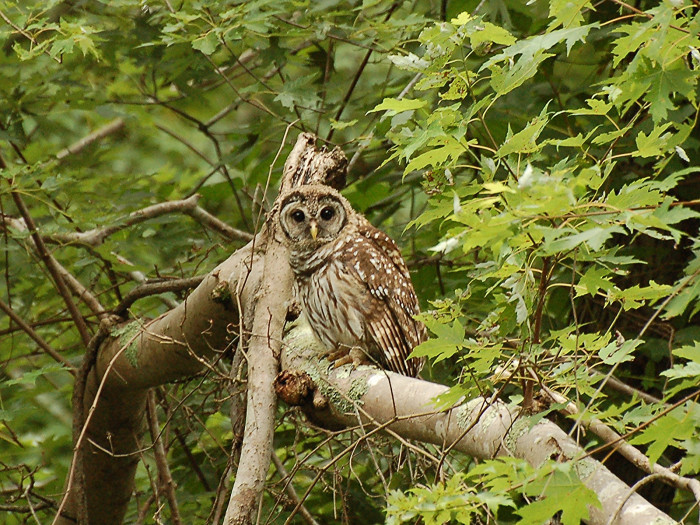 2) A Barred Owl is spotted hanging out at the C&O Canal.