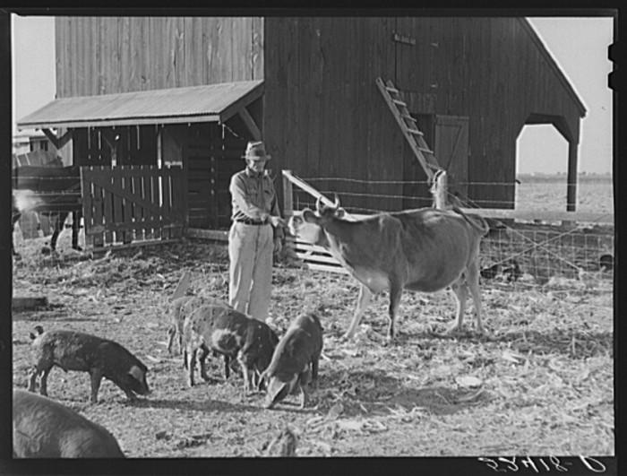 8. A Merigold farmer tends to his stock in November of 1939.