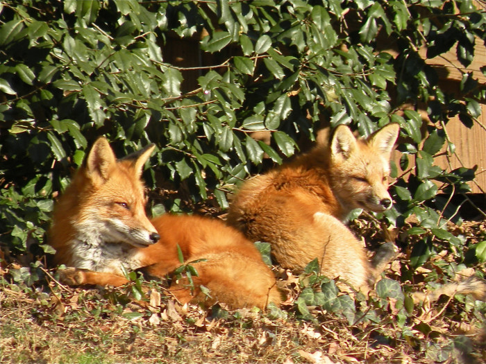 4) These firey foxes were seen having a rest in Chevy Chase.
