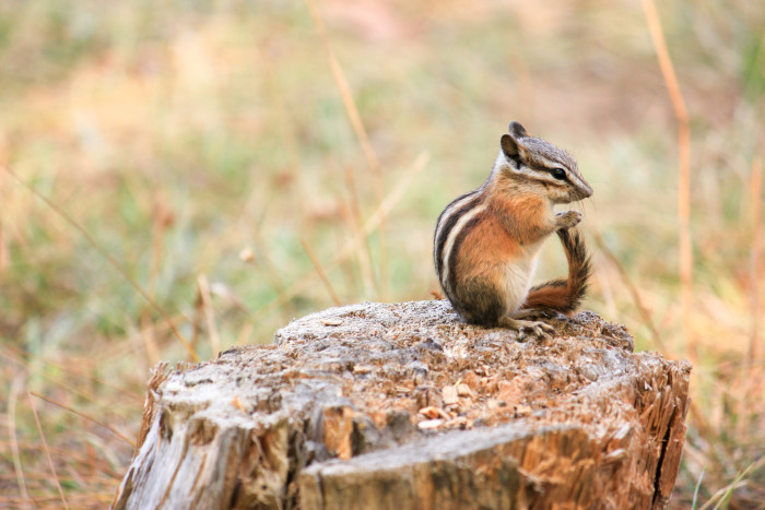 5. This chipmunk relaxing in the Sawtooths is too cute for words.