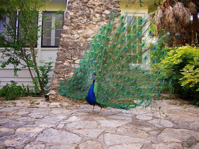 13. See peacocks strutting their stuff at Mayfield Park in Austin