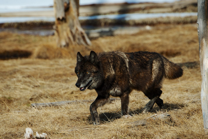 11. Black Wolf in Yellowstone