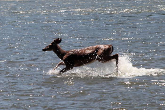 7) Oh deer. This adventurous guy was seen splashing around in the Potomac River.