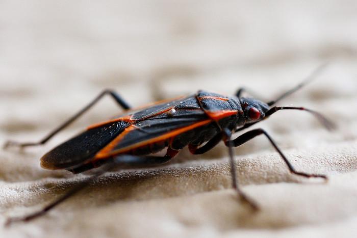 4.  Boxelder Bug