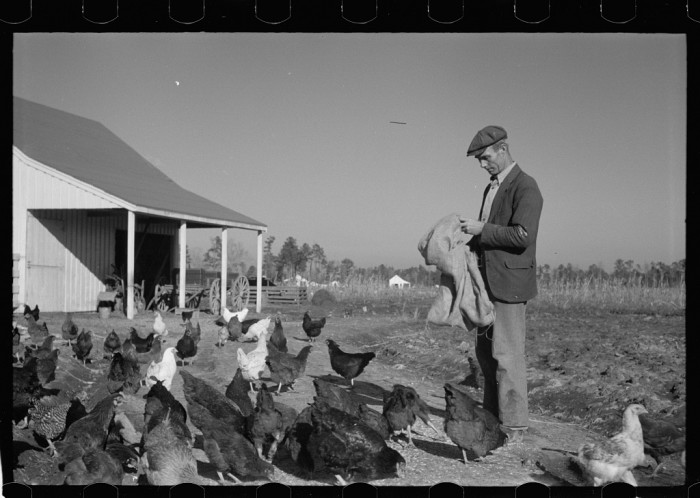 8. Lots of chickens.