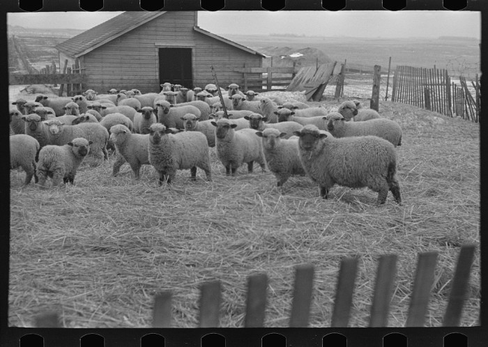6. This flock of sheep huddle inside the fence at a farm near Armstrong.