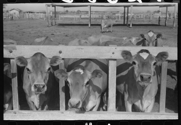 7. Others focused on ranching and raising livestock. These cattle near Casa Grande were being used for dairy.