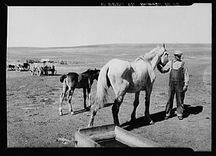 "9. ""Farmers and stock in drought near Dickinson, North Dakota"""