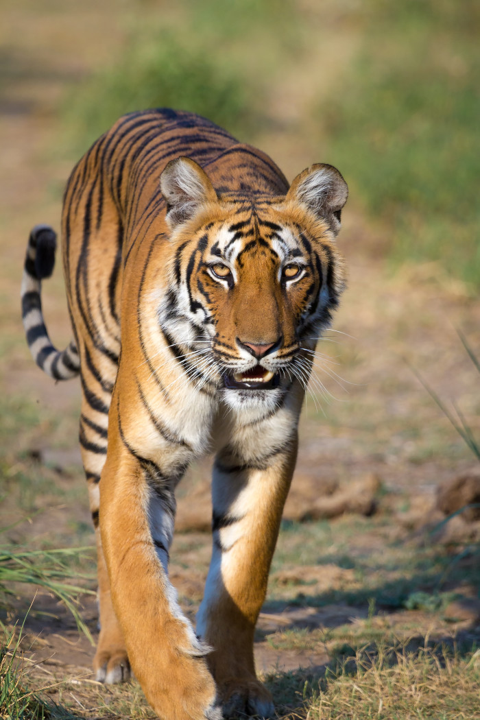 9.2.Tigress_at_Jim_Corbett_National_Park