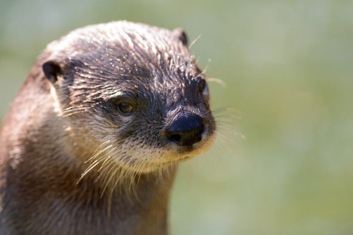 15. An otter from Stoneham.