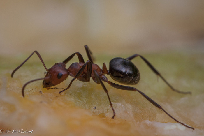 8.  Allegheny Mound Ant