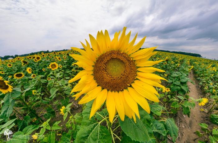 8. 'Sunflower Central.'