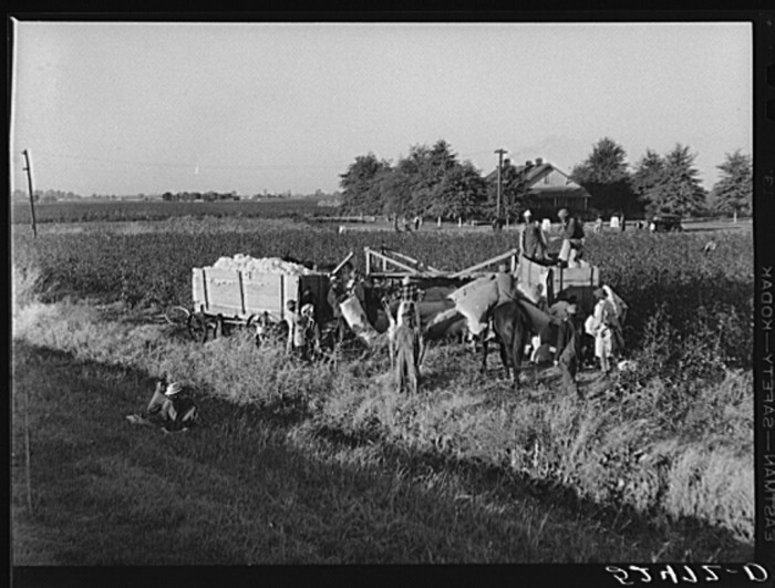 9. Clarkdale day laborers bring their cotton yield to an awaiting wagon.