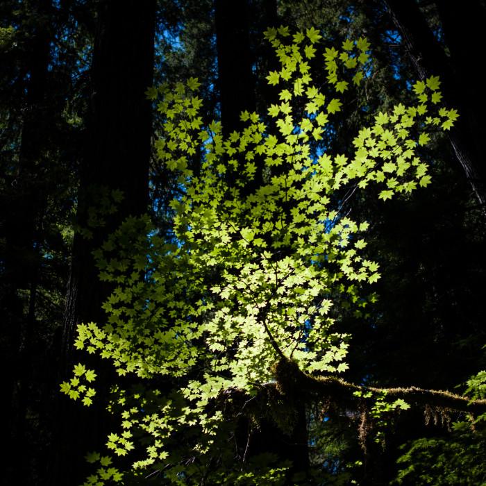 Sunshine illuminating maple leaves on the walk.