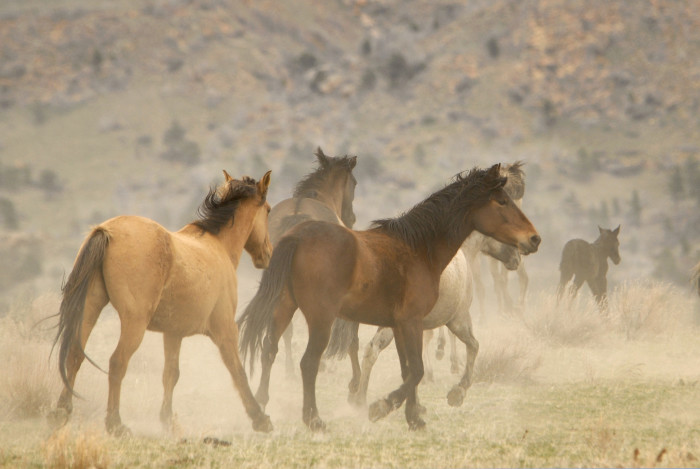 Wild Horses - wildlife in south dakota