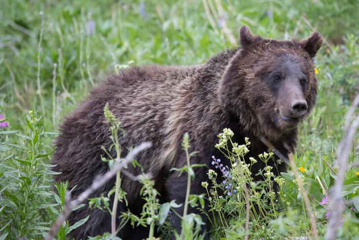 1. Grizzly Bear in Yellowstone National Park