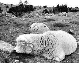 6. More than 6,000 sheep mysteriously died near Dugway in 1968.
