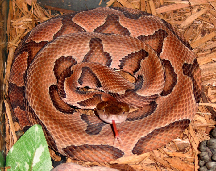 6. Copperheads and Timber Rattlesnakes