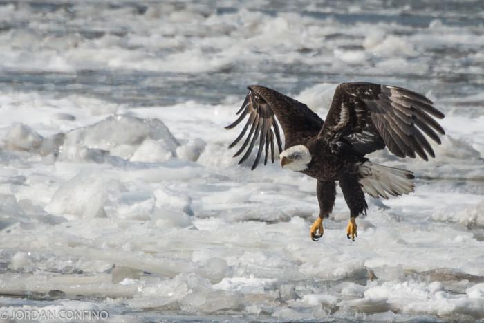 5. Bald Eagle