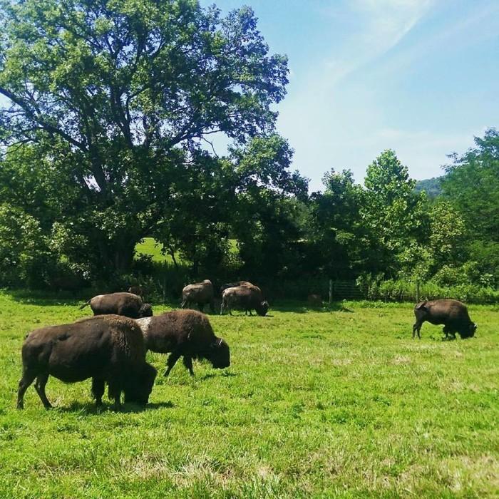 It has buffalo...