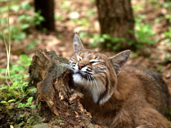 3. Bobcat