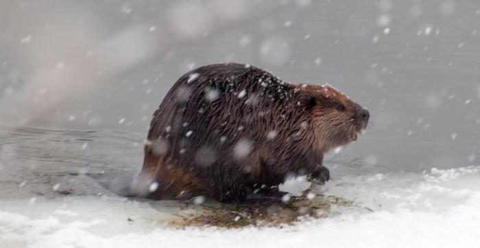 7. Beaver