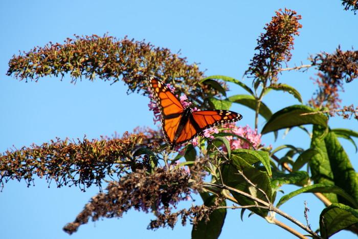 6. Monarch Butterfly