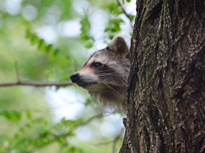 18. Raccoon