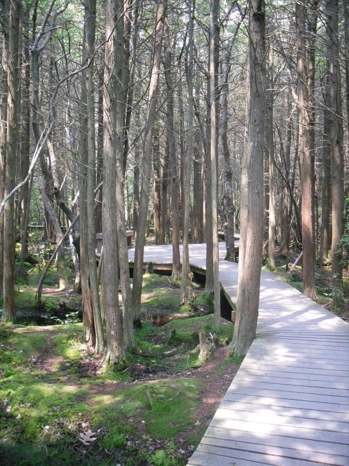 6. The White Cedar Swamp, Wellfleet