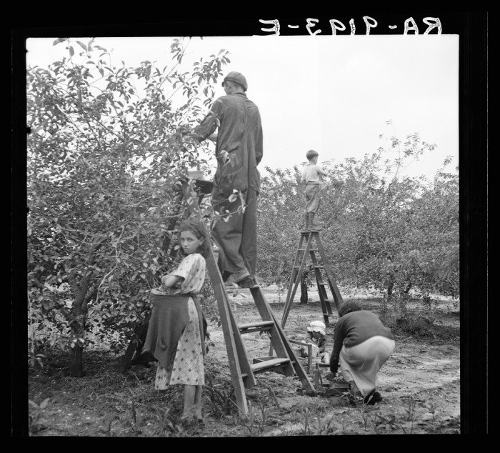 10. Cherry pickers on a Millville farm. Cherries were harvested by local men, women, and children.