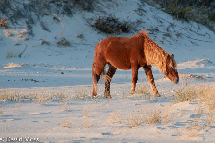 8. We have the Chincoteague Ponies.