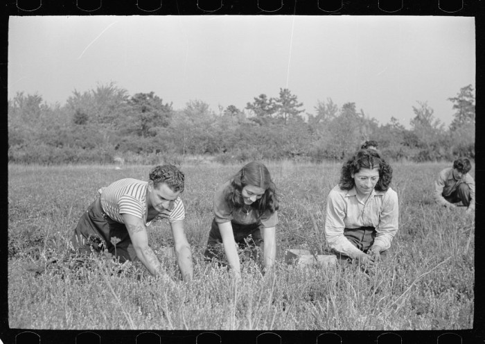 7. Men and women work side by side, manually picking cranberries in Burlington County.