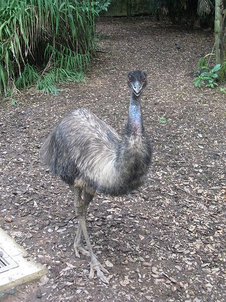 1. Emu Directs Traffic on Atlanta Highway
