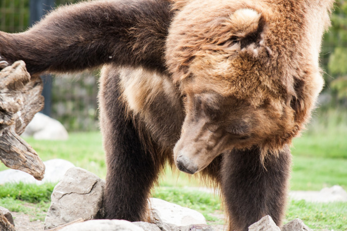 9. The Grizzly and Wolf Discovery Center