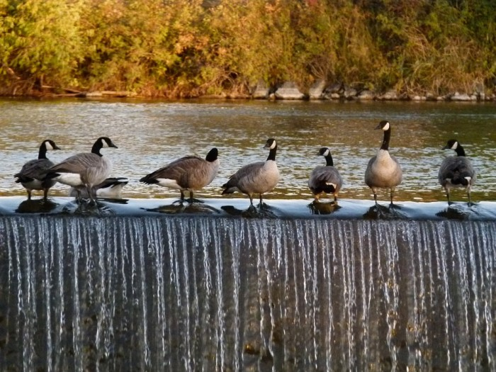 1. A line of Canada geese in Idaho Falls.