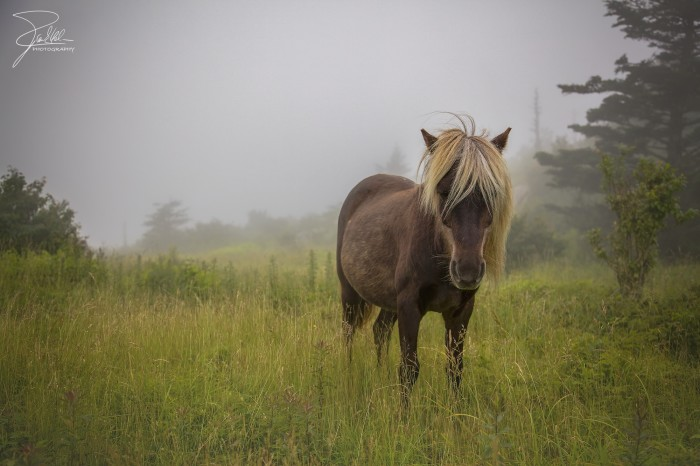 15. One of the wild ponies at Grayson Highland State Park.