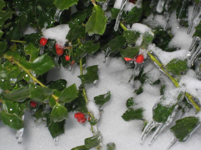 20. Holly Berries