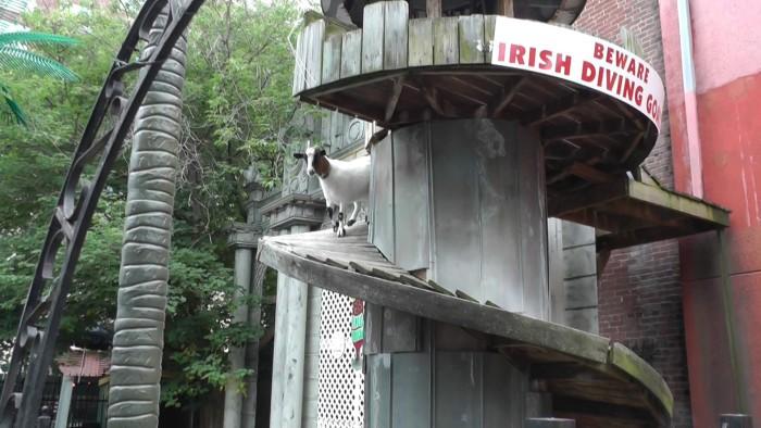 Irish Diving Goats